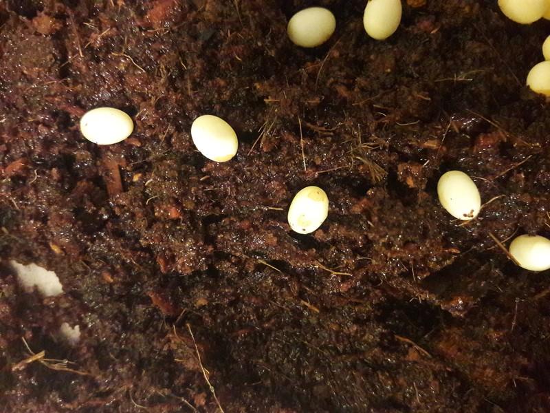 Доброго времени суток. Улитка недавно отложила яйца. 20180512