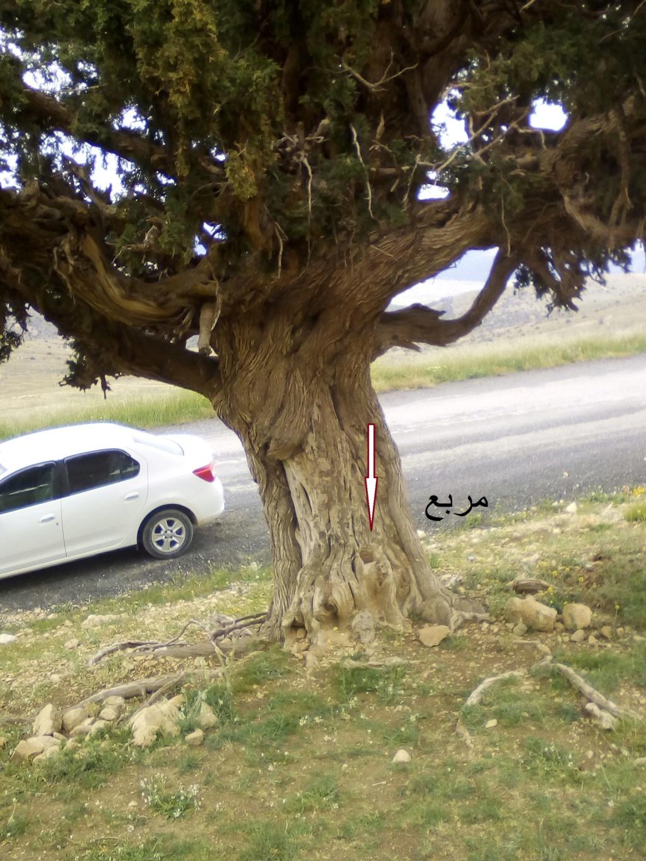 الاشجار التكنيزية Img_2102
