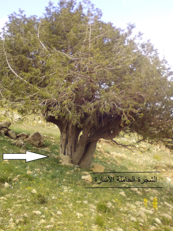 الاشجار التكنيزية Img_2103