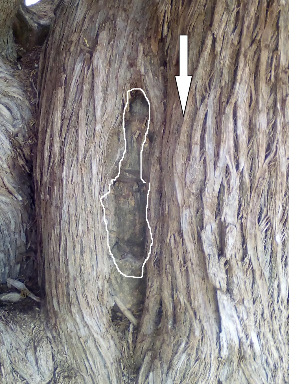 الاشجار التكنيزية Img_2109