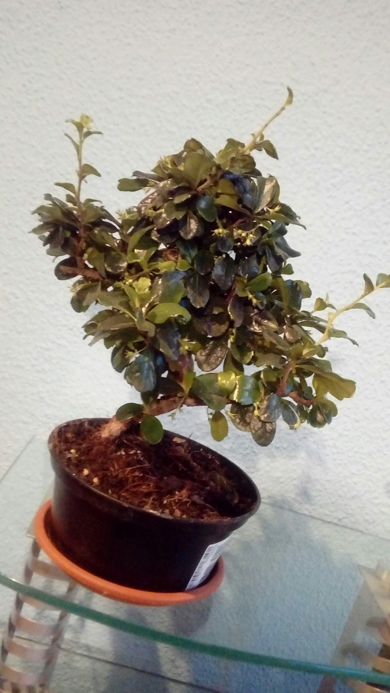 Mi primer bonsai 20180510