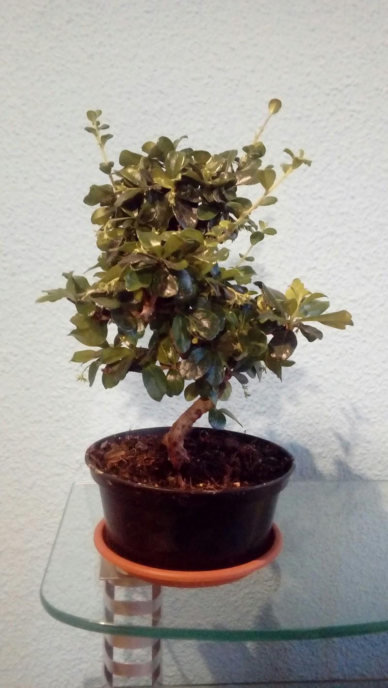 Mi primer bonsai 20180511