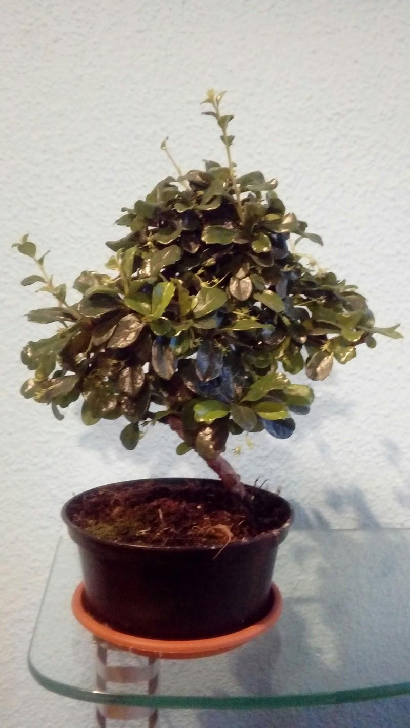 Mi primer bonsai 20180512