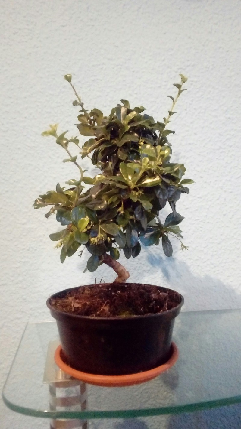 Mi primer bonsai 20180513