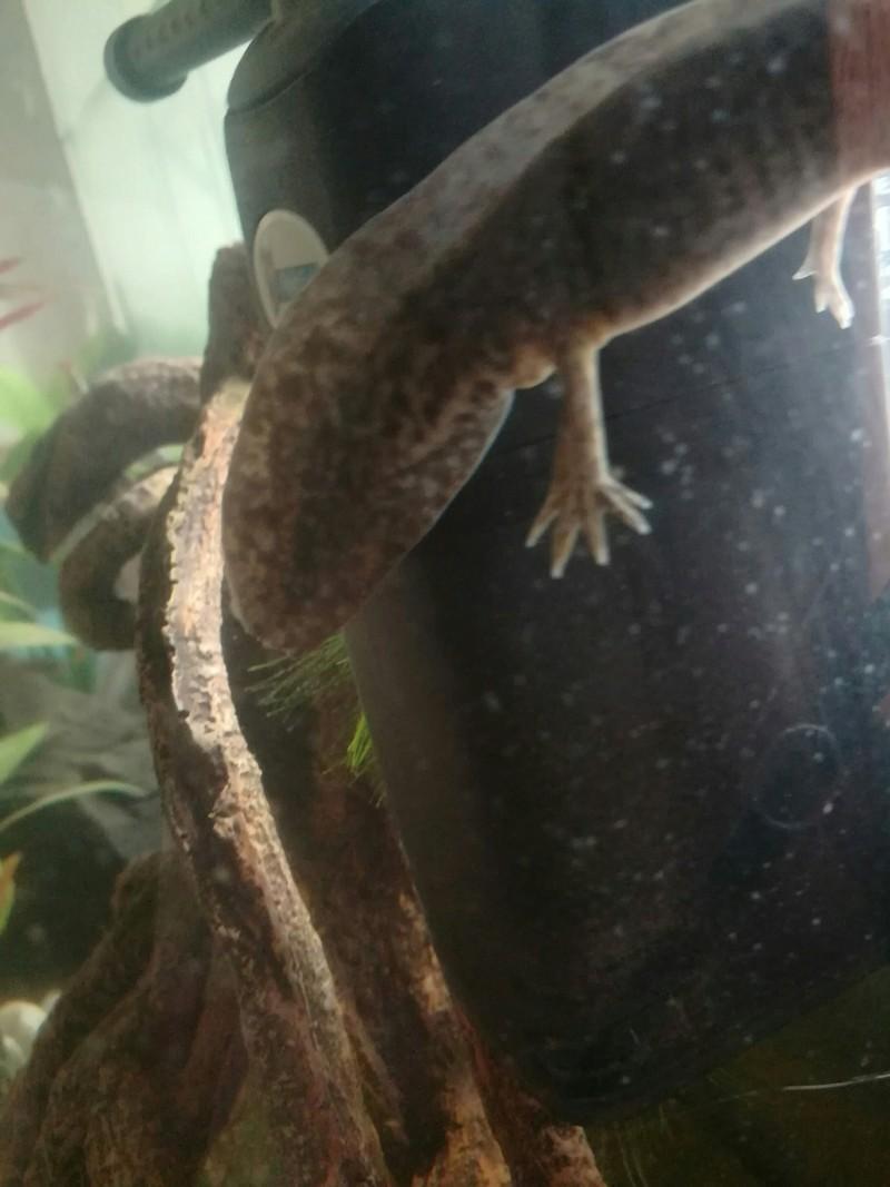 Identification sexe axolotl 20180627