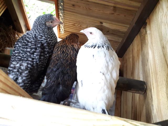 Mes trois poulettes.: Harco, Sussex et Coucou, leurs noms: on verra :-) 20190427