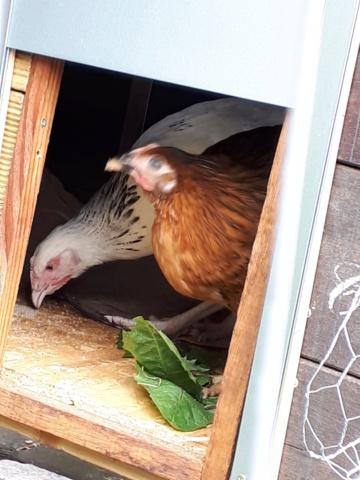 Mes trois poulettes.: Harco, Sussex et Coucou, leurs noms: on verra :-) 20190428