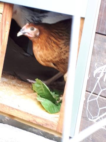 Mes trois poulettes.: Harco, Sussex et Coucou, leurs noms: on verra :-) 20190429
