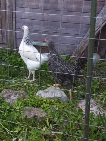 Mes trois poulettes.: Harco, Sussex et Coucou, leurs noms: on verra :-) 20190437