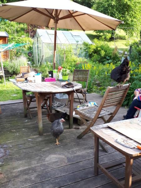 Mes trois poulettes.: Harco, Sussex et Coucou, leurs noms: on verra :-) - Page 4 20190625