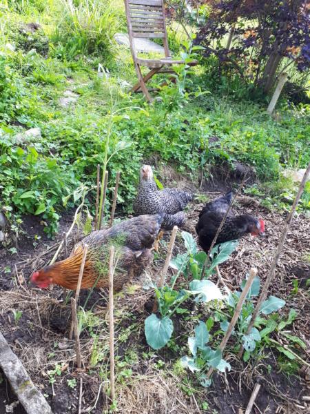 Mes trois poulettes.: Harco, Sussex et Coucou, leurs noms: on verra :-) - Page 4 20190628