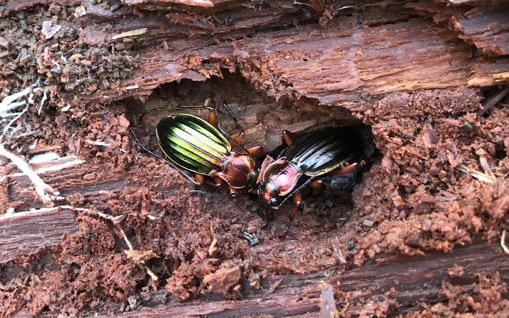 Carabus auronitens in vivo Bs_rob10