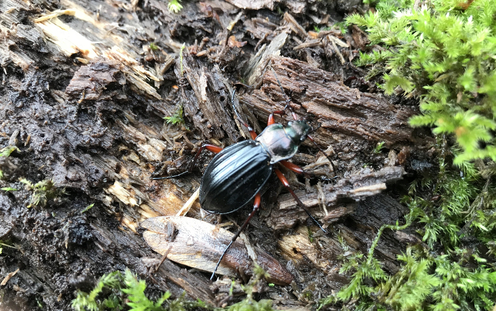 Carabus auronitens in vivo Bs_rob11