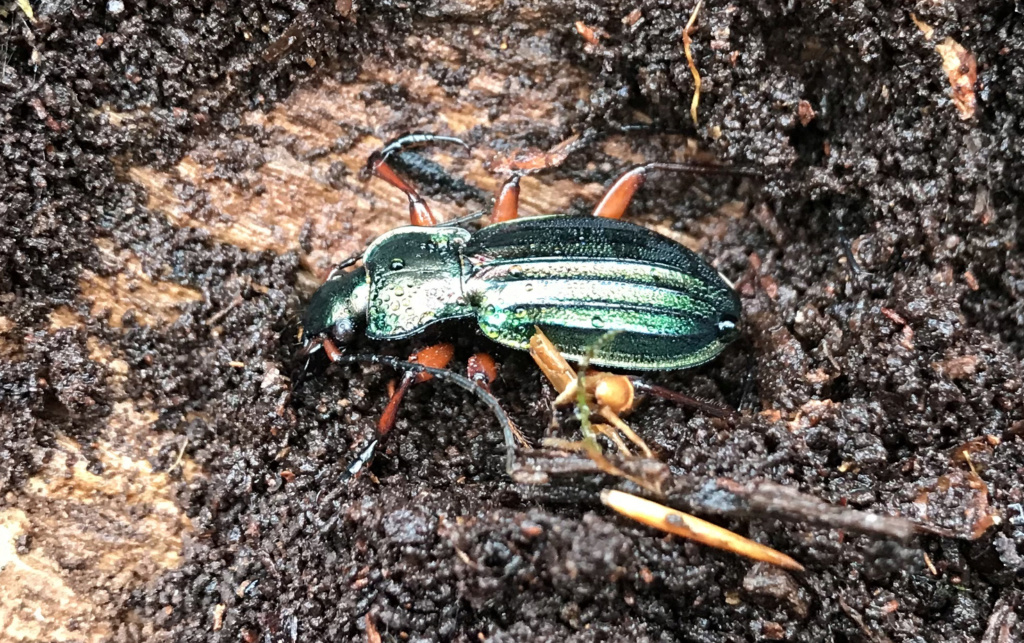 Carabus auronitens in vivo Bs_rob13
