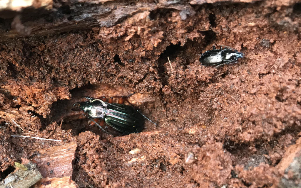 Carabus auronitens in vivo Robert12