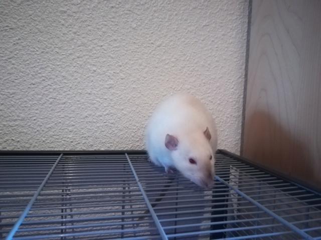 Five petit rat solo cherche nouvelle famille 60190011