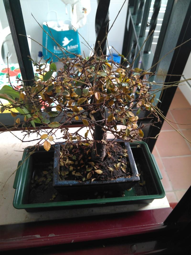 Creo que mi bonsai está muriendo... 20191010
