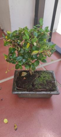 Bonsái Carmona microphylla 5 años Img_2016
