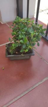 Bonsái Carmona microphylla 5 años Img_2017