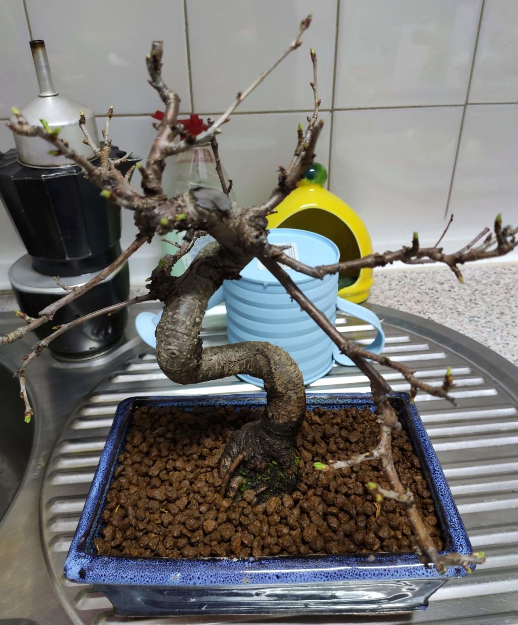Mis bonsáis Img_2043