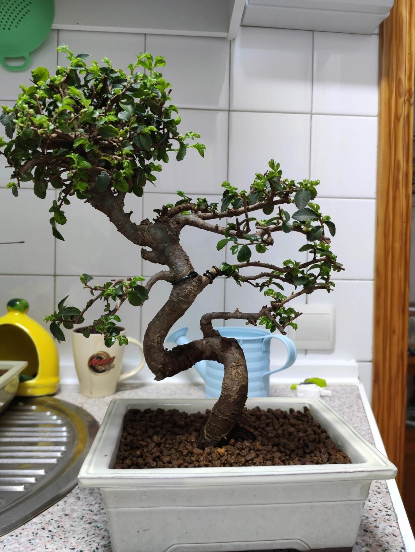 Mis bonsáis Img_2044