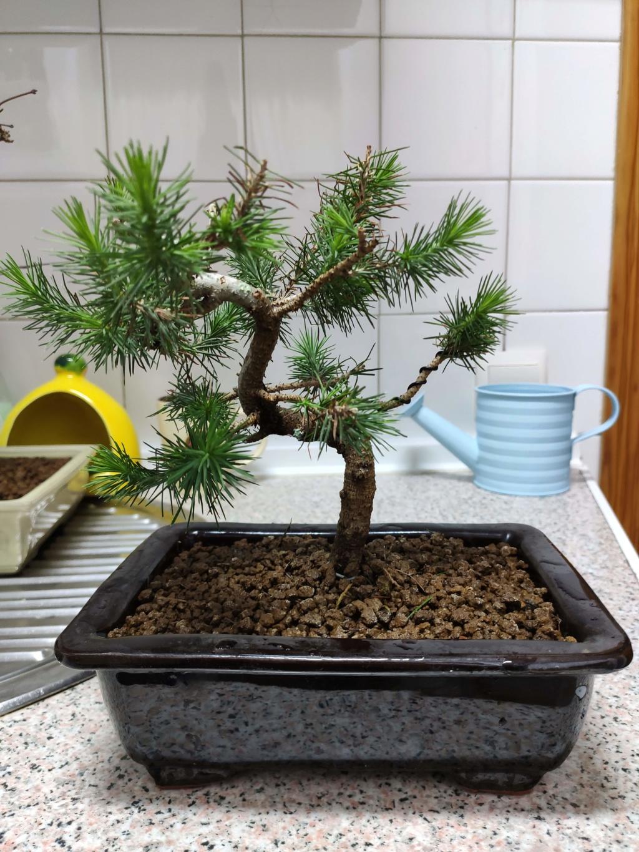 Mis bonsáis Img_2045