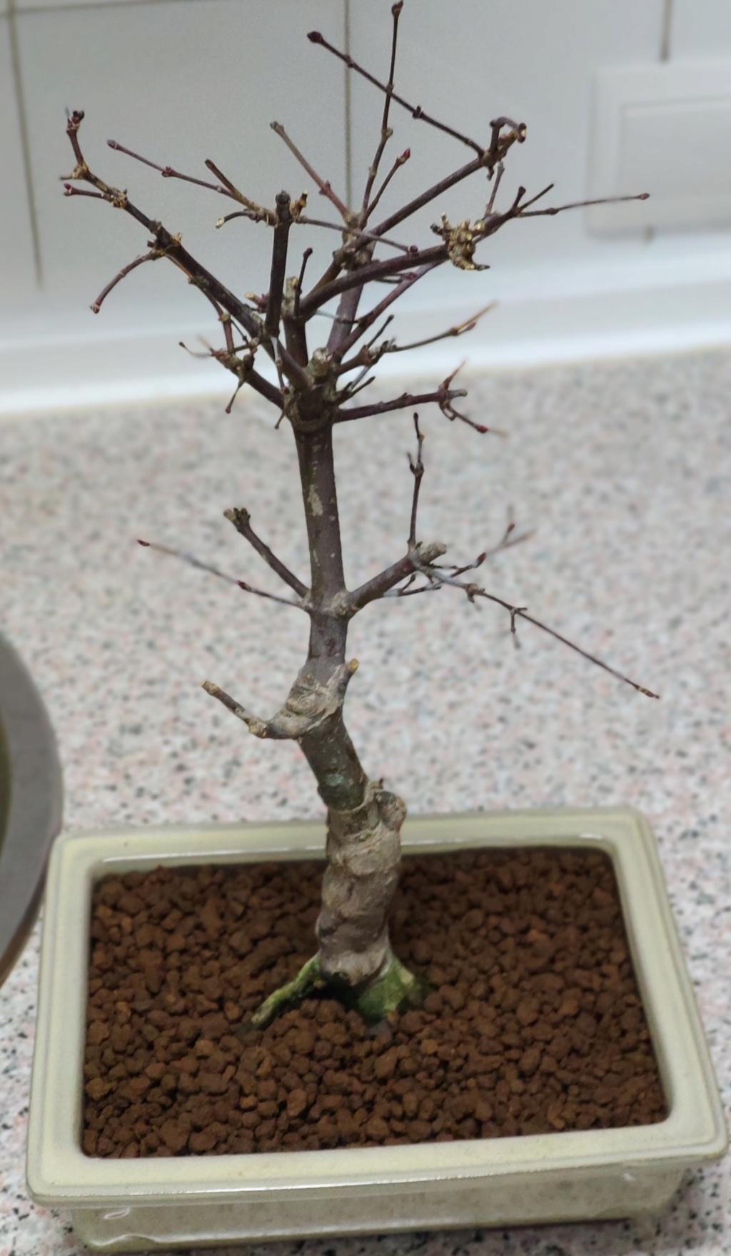 Mis bonsáis Img_2046