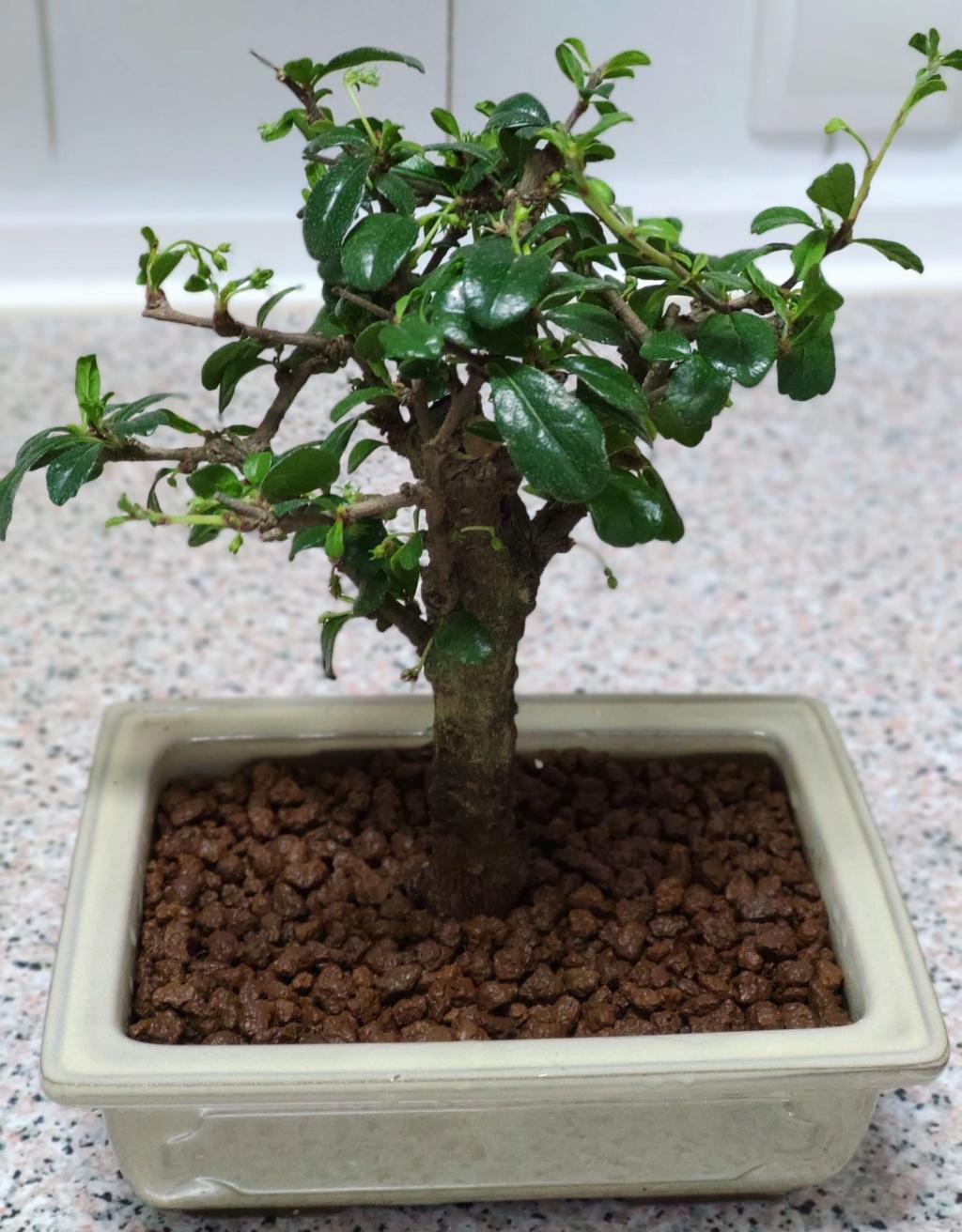 Mis bonsáis Img_2047