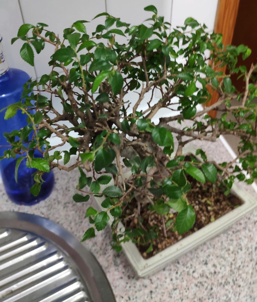 Olmo y granado perdiendo hojas Img_2069