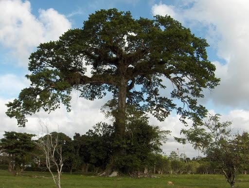 8 Reales Estado de Guatemala 1847 Ceiba10