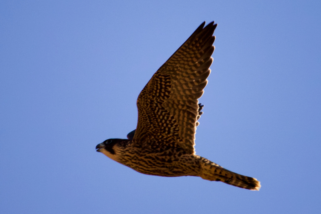 Fórum Aves - Birdwatching em Portugal - Portal Img_9010