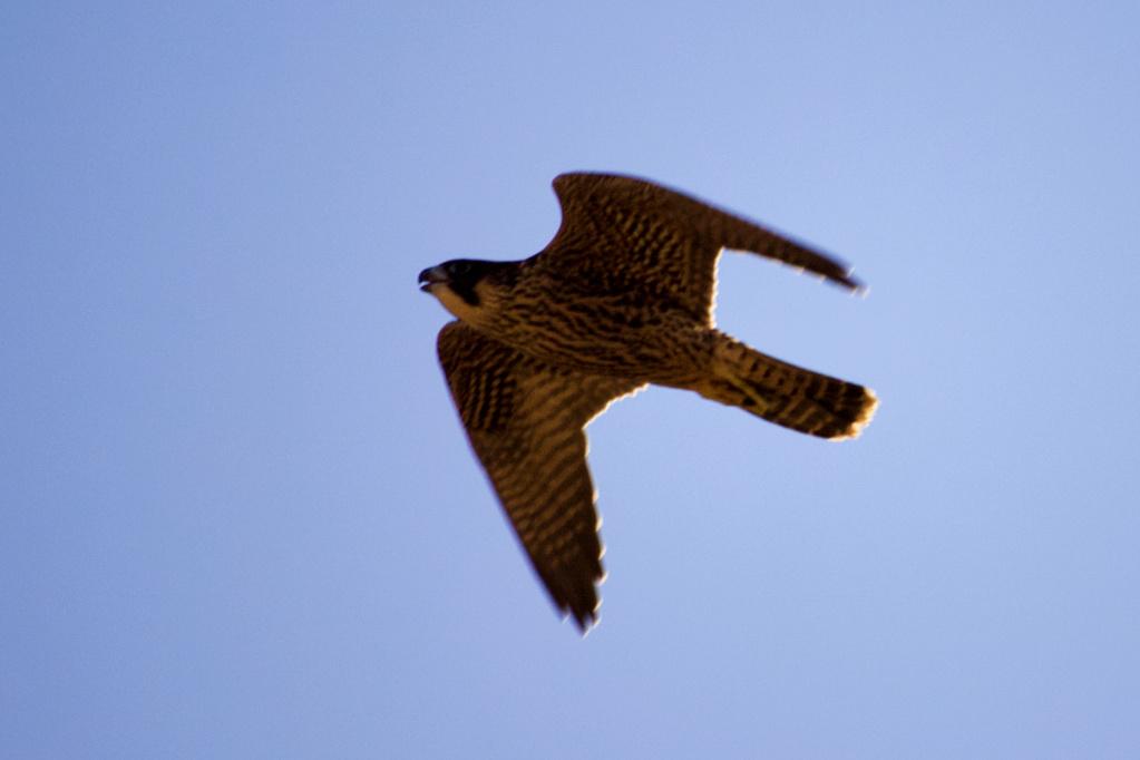 Fórum Aves - Birdwatching em Portugal - Portal Img_9011