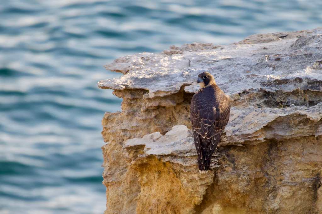Fórum Aves - Birdwatching em Portugal - Portal Img_9012