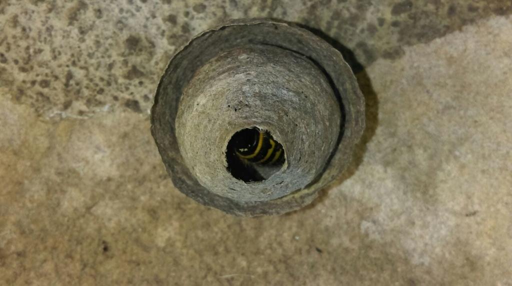 Déplacement d'un petit nid de guêpe Guepe111
