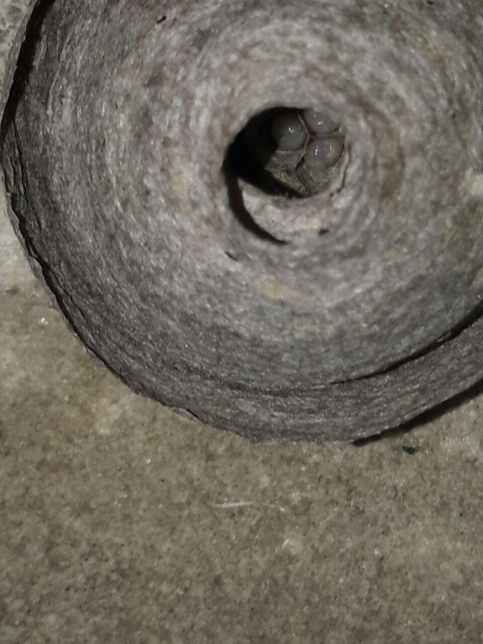 Déplacement d'un petit nid de guêpe Guepe411