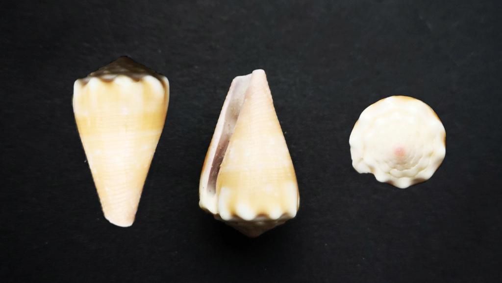 Conus  balteatus  ? Cone_a10
