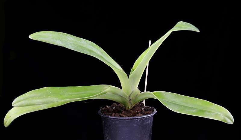 Orchideen-Neuzugang 2 - Seite 33 Bel-ro10