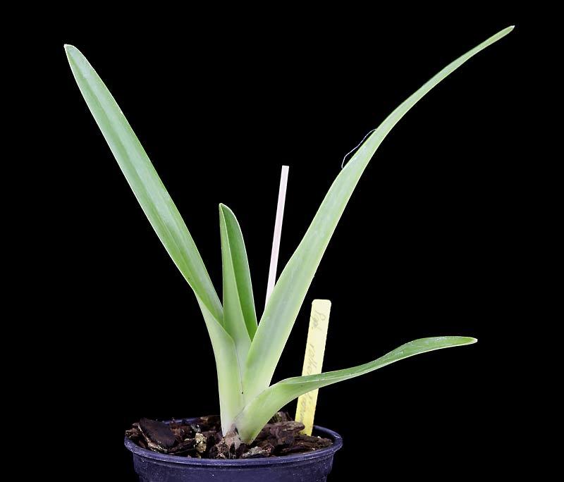 Orchideen-Neuzugang 2 - Seite 33 Rothsc10