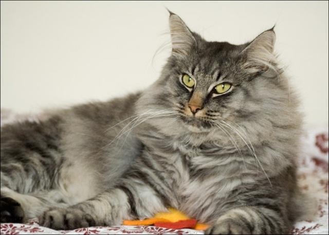 Avis sur un de mes chats ... Vixen710
