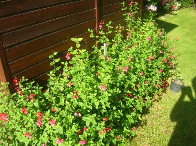 Un Jardin à St Malo juillet 2007 Dscn7148