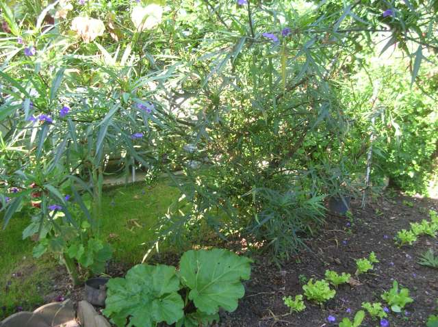 Un Jardin à St Malo juillet 2007 Dscn7152