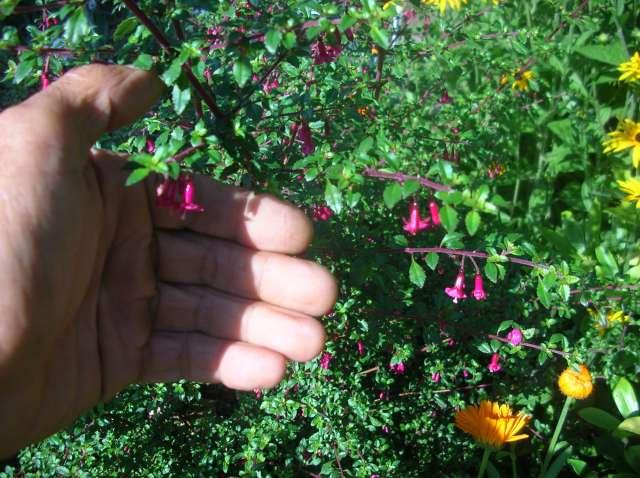 Un Jardin à St Malo juillet 2007 Dscn7158