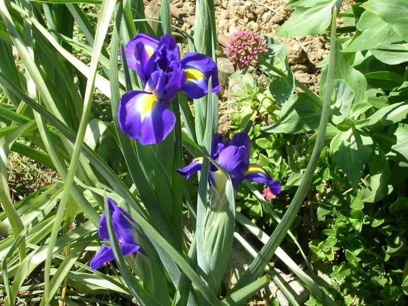Quelques floraisons de mon jardin Dscn4213