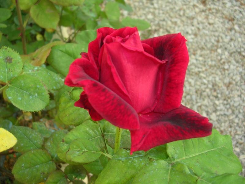 Quelques floraisons de mon jardin Dscn4314