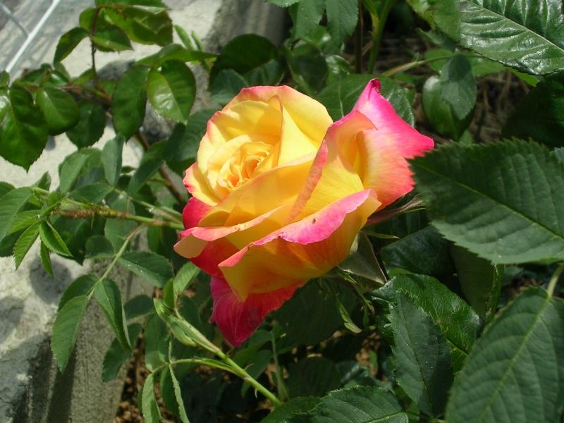Quelques floraisons de mon jardin Dscn4316
