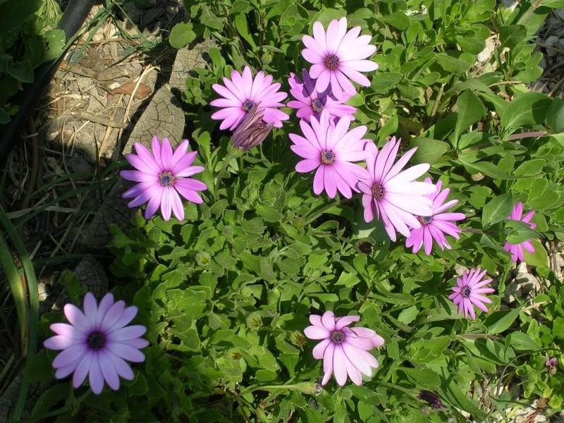 Quelques floraisons de mon jardin Dscn4318