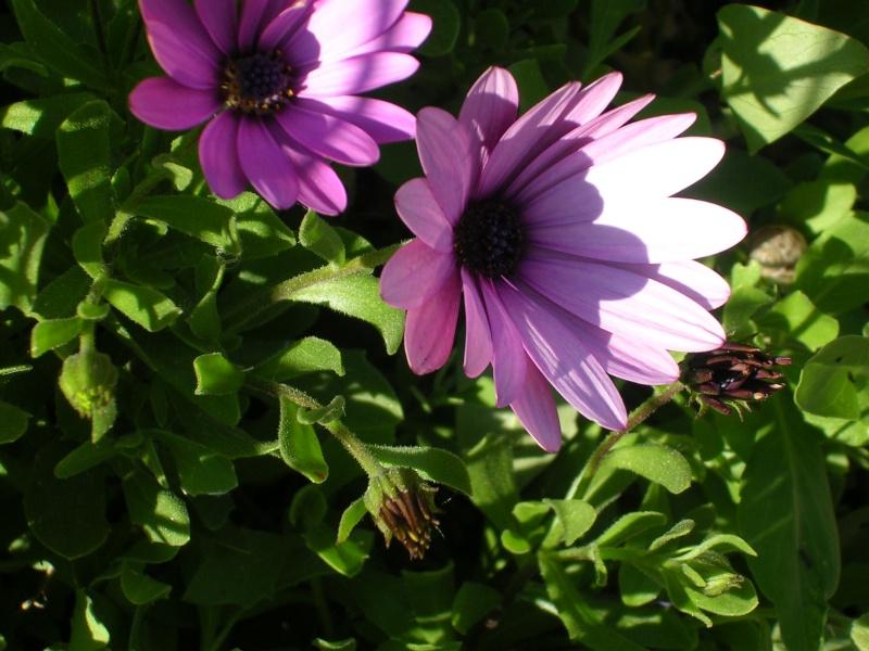 Quelques floraisons de mon jardin Dscn4319