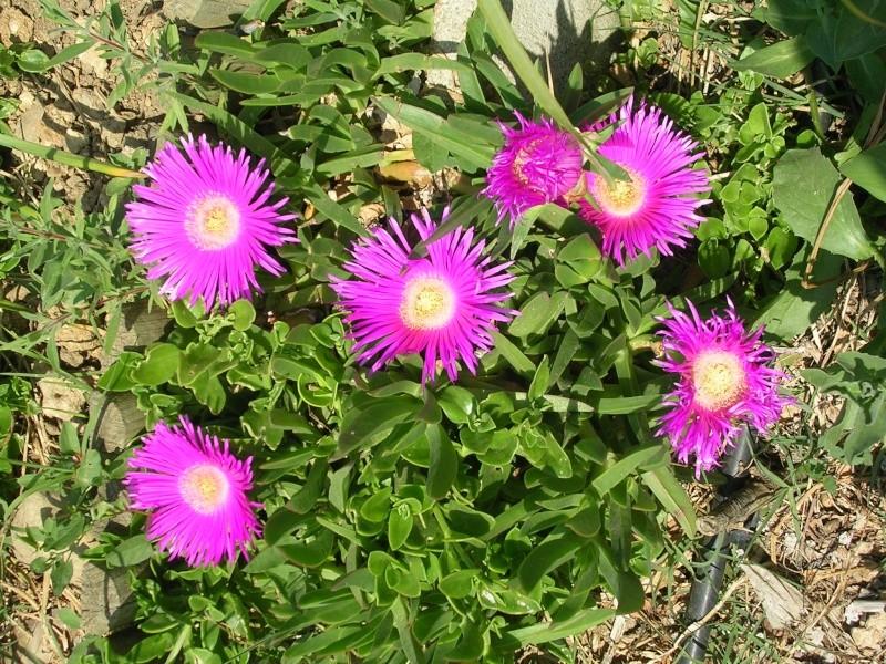 Quelques floraisons de mon jardin Dscn4320