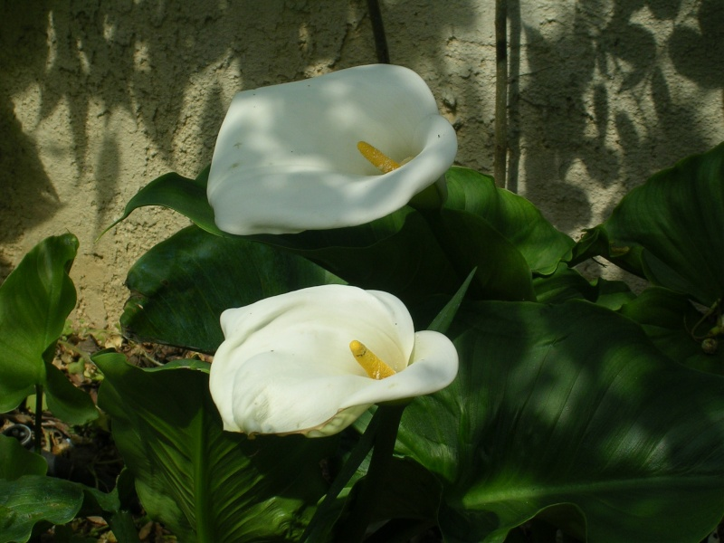 Quelques floraisons de mon jardin Dscn4321