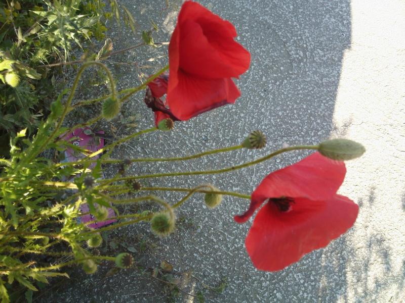 Quelques floraisons de mon jardin - Page 2 Img03510